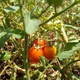 Piante di pomodori