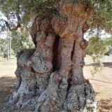 Ulivi centenari Puglia