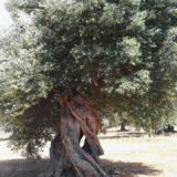 Alberi secolari Puglia