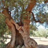 Alberi secolari in Puglia