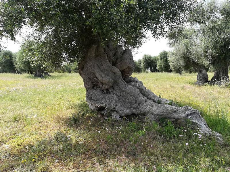 tronco ulivo secolare pugliese aggrovigliato